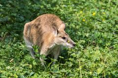 Le wallaby agile, agilis de Macropus ?galement connus sous le nom de wallaby ar?nac? images stock