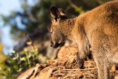 Le wallaby dans le fond naturel s'est allumé en frôlant la lumière images libres de droits
