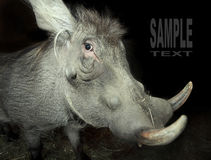 Le Warthog (africanus de Phacochoerus). image stock