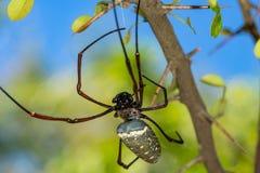 Le Web spider d'or photos stock