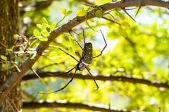 Le Web spider d'or photographie stock libre de droits