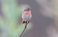 Le whinchat et le x28 ; Rubetra& x29 de Saxicola ; femelle Photographie stock libre de droits