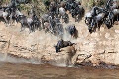 Le Wildebeest saute dans le fleuve d'une haute falaise Image stock