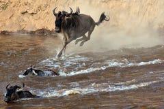 Le Wildebeest saute dans le fleuve d'une haute falaise Photo stock