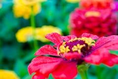 Le wildflower de ressort montre ses pétales freashly enduits images libres de droits