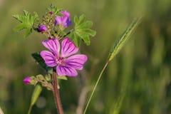 Le wildflower rose de pré sous le soleil rayonne le plan rapproché Photographie stock libre de droits