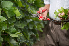 Le winemaker supérieur coupe des brindilles dans le vignoble Image libre de droits
