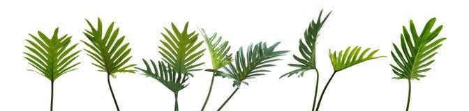 Le xanadu de philodendron, les feuilles tropicales a placé d'isolement sur le blanc Photo stock