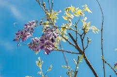 Le Xylocopa Valga d'abeille de charpentier pollinisent le pourpre et le WIS de lavande photos libres de droits