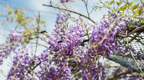 Le Xylocopa Valga d'abeille de charpentier pollinisent le pourpre et le WIS de lavande photographie stock libre de droits