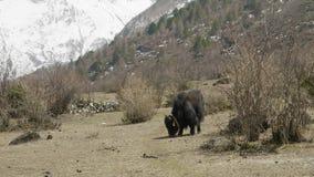 Le yak de l'Himalaya mange l'herbe parmi les montagnes du Népal Voyage de circuit de Manaslu banque de vidéos