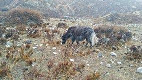 Le yak n'importe pas photographie stock