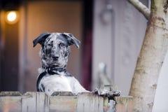 Le yard repéré de chien est solidement gardé sa maison Photo stock