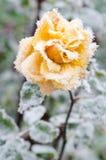 Le yelow gelé a monté Image libre de droits