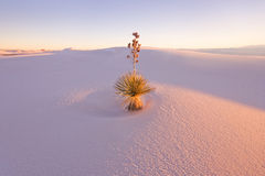 Le yucca au blanc sable le monument national Photo stock