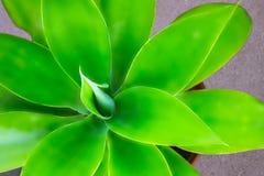 Le yucca de plante verte ou l'arbre de la vie a captur? tr?s ?troitement, fin en Namibie images libres de droits