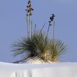 Le yucca de Soaptree est la centrale iconique aux sables blancs Image libre de droits