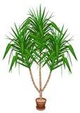 Le yucca est un ?l?phant Une belle usine ? feuilles persistantes dans un pot D?coration de maison et de bureau Arbre toujours d'a illustration libre de droits