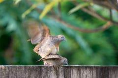 Le zèbre brunâtre-gris a plongé ou a barré la colombe de la terre multiplient photos libres de droits