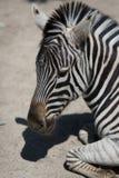 Le zèbre dans le zoo images libres de droits