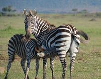 Le zèbre de bébé alimente de la mère sur les plaines de l'Afrique Photographie stock libre de droits