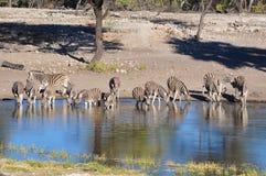 Le zèbre de Burchell à l'abreuvoir en Namibie Afrique Photo libre de droits