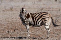 Le zèbre de Burchell à la lumière du soleil africaine Photos stock