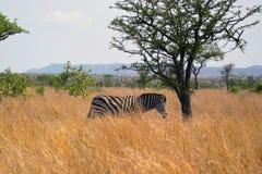 Le zèbre de Burchell [burchelli d'Equus] en parc national de Kruger Photos stock
