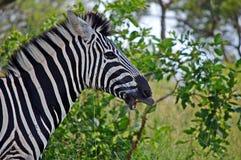 Le zèbre de Burchell (burchellii de quagga d'Equus) Photos libres de droits