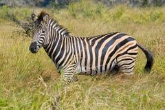 Le zèbre de Burchell (burchellii de quagga d'Equus) en parc national de Kruger Image stock