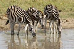 Le zèbre de Burchell buvant, Afrique du Sud Images libres de droits