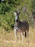 Le zèbre de Burchell en Afrique Image libre de droits