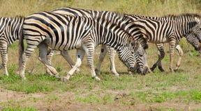 Le zèbre de Burchell, parc national de Kruger, Afrique du Sud photographie stock libre de droits