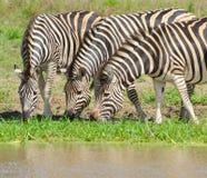 Le zèbre de Burchell, parc national de Kruger, Afrique du Sud photos stock