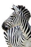 Le zèbre de Grant (boehmi de quagga d'Equus) d'isolement Photographie stock libre de droits