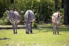 Le zèbre de Grevy de groupe, grevyi d'Equus, Image libre de droits