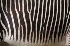 Le zèbre de Grevy (grevyi d'Equus), également connu sous le nom de zèbre impérial Image stock