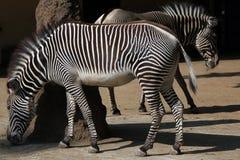 Le zèbre de Grevy (grevyi d'Equus), également connu sous le nom de zèbre impérial Photographie stock
