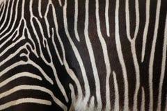 Le zèbre de Grevy (grevyi d'Equus), également connu sous le nom de zèbre impérial Photographie stock libre de droits