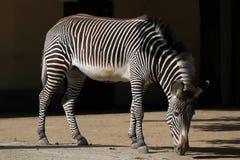 Le zèbre de Grevy (grevyi d'Equus), également connu sous le nom de zèbre impérial Photos stock