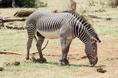 Le zèbre de Grevy (grevyi d'Equus) Images libres de droits