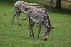 Le zèbre de Grevy - grevyi d'Equus Images stock