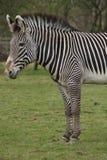 Le zèbre de Grevy - grevyi d'Equus Photographie stock