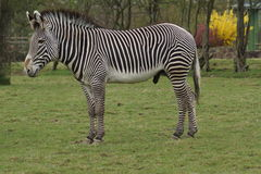 Le zèbre de Grevy - grevyi d'Equus Photo stock
