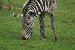 Le zèbre de Grevy - grevyi d'Equus Image stock