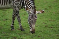 Le zèbre de Grevy - grevyi d'Equus Image libre de droits