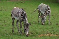 Le zèbre de Grevy - grevyi d'Equus Photographie stock libre de droits