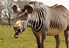 Le zèbre de Grevy, grevyi d'equus, photo comique Photographie stock