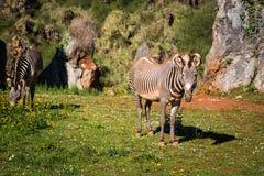 Le zèbre de Grevy s (grevyi d'Equus), parfois connu sous le nom d'imperia Photographie stock