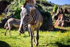 Le zèbre de Grevy s (grevyi d'Equus), parfois connu sous le nom d'imperia Images stock